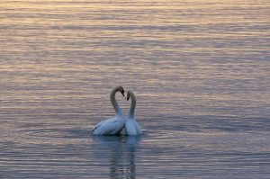 Feb Swans